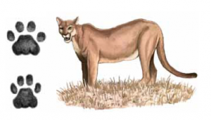ONÇA-PARDA Puma concolor