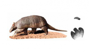 TATU-CANASTRA - Priodontes maximus